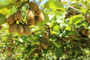 Дерево актинидия (киви) выращивание из семян дома в саду, в Украине, России, условия, фото.