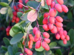 Medicinal properties of Berberis vulgaris, leaves and berries. Contraindications description