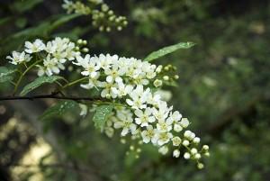 Лечебные свойства ягод и листьев черемухи обыкновенное, рецепт приготовления.