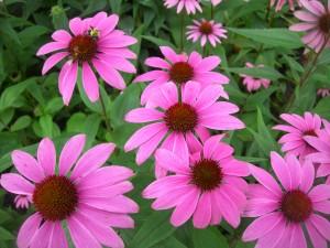 Квіти ехінацея фото. Квітка ехінацеї вирощування в домашніх умовах.