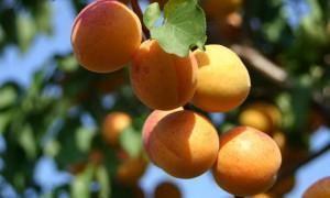Як правильно обрізати молоде, старе дерево абрикоса. Коли потрібно робити обрізку самостійно, весною / восени.