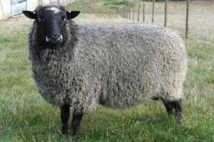 Characteristics of the Romanov sheep breed