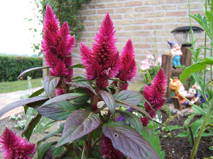 Planting and growing celosia in a bed, at home, photos, description, care, illness