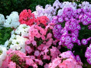 Phlox flower annuals and perennials, planting the seeds. How to grow in the home