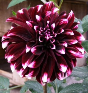 Proper breeding dahlias at home, cuttings, seeds, photo