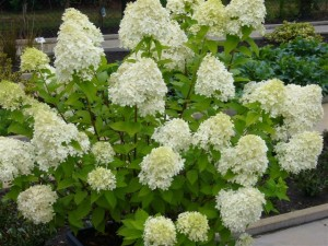 Hydrangea paniculata planting and care, breeding, fertilizer, photo, description