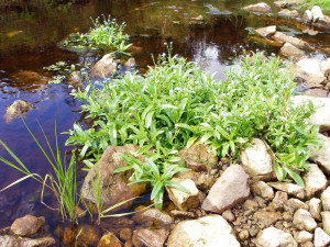 Forget-me eared, photos, description, application in landscape design and arrangement of the reservoir