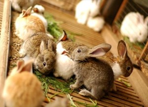 The disease salmonellosis rabbits, symptoms, treatment and prevention in the home, photos