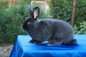 Interesting features, description, characteristics. Viennese blue rabbit, photo