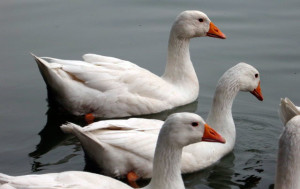 Photos, description, characteristic of the breed Hungarian goose breeding home