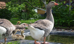 Large gray geese, features, photos, descriptions for home breeding
