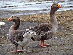 Photos, description, characteristic of Tula breed gray goose