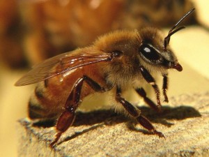 How does an African killer bees, photos, description of breed