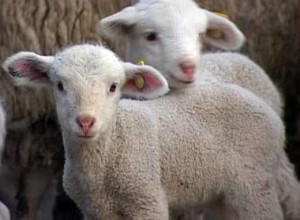 Industrial and domestic breeding of sheep, photo, characteristics and description