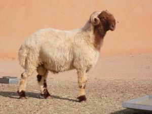 Description, photos, characteristics of domestic breeding