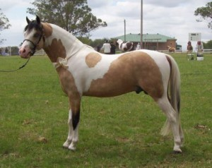 Photos, description, characteristic of the breed Australian pony