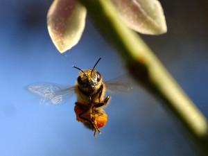 Characteristics, Buckfast bees breed, description, photos