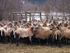The breed of sheep - Barbados, description, photos, breeding at home