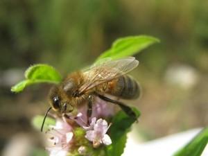 How does the Bashkir bee, photos, description, characteristics