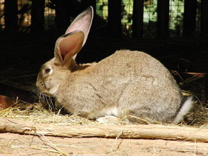 Giant rabbit breed Flanders, content, description, photos
