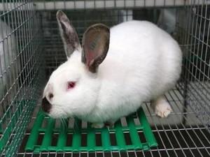 Beautiful German hiplus bunnies, breed, description, photos and characteristics