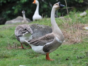 Photography, oriental breeds description Chinese geese, characteristic
