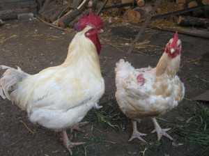 Description of species for domestic breeding, photos, characteristics