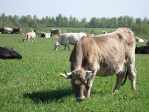 Dairy cows Kostroma breed, photos, description, characteristic for home breeding
