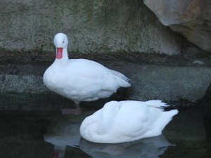 Photos, description, characterization of white ducks breed in Moscow for home breeding
