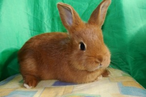Rabbits breed New Zealand red, photos, description