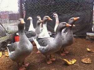 Photos, description of Ukrainian breed of geese - obroshinskie breeding