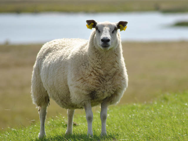 Photos, description and characteristics of the breed for home breeding
