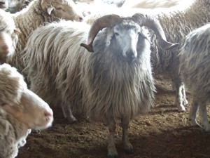 Description, photos, description of sheep for home and industrial breeding