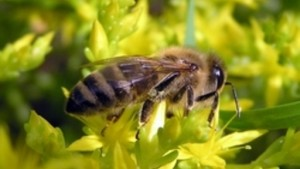 Content central Russian breed of bees, description, characteristics, photos for cultivation in the home