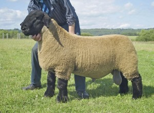 The breed of sheep breeding for home and business - Suffolk, description, characteristics, photos
