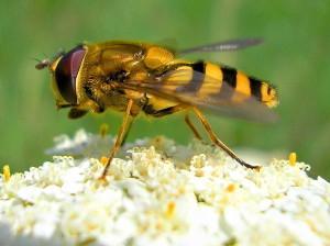 How does an earthen bee, photos, description of breed