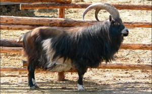 Photos, description, goat Dutch Landrace breed, characteristic for home breeding and maintenance