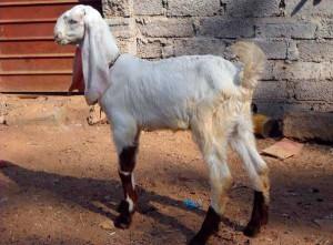 Фото, опис індійської породи кіз Джамнапарі, характеристика для домашнього розведення і утримання.