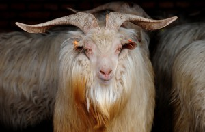 Photos, description of the Kashmir goat breed, characteristic for home maintenance and breeding