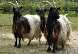 Photos, description Welsh goat with black neck, characteristic for home breeding and maintenance