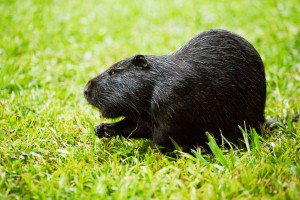 Photos, description, black rocks characteristic of nutria breeding for home and contents