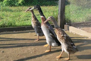 Photos, description ducks breed Indian slider feature for home breeding and maintenance