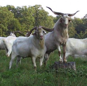 Photos, description Kiko breed goats, characteristic for home maintenance and breeding