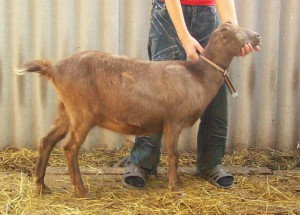 Photos, description goat breeds with small ears, La Mancha, characterization, milk production, breeding and maintenance in the home