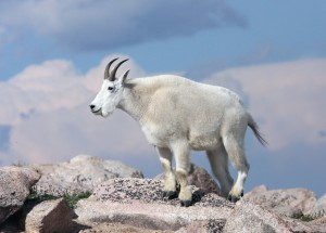 Photos, description snowy rocks, mountain goats, characteristic, interesting facts