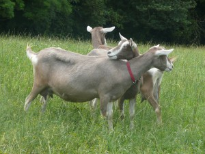 Photos, description Toggenburgskoy breed goats, characteristic for home breeding and maintenance