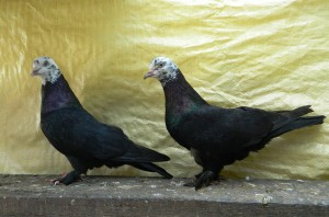 Photos, description Chile pigeons breed characteristic for home breeding