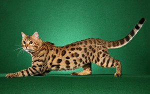 Photos, description cat breed Chito, characteristic for home breeding and maintenance