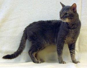 Кішка породи Герман-Рекс, фото, опис, зміст