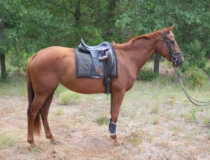 Photo, horse breed description Gunter, characteristic for home breeding